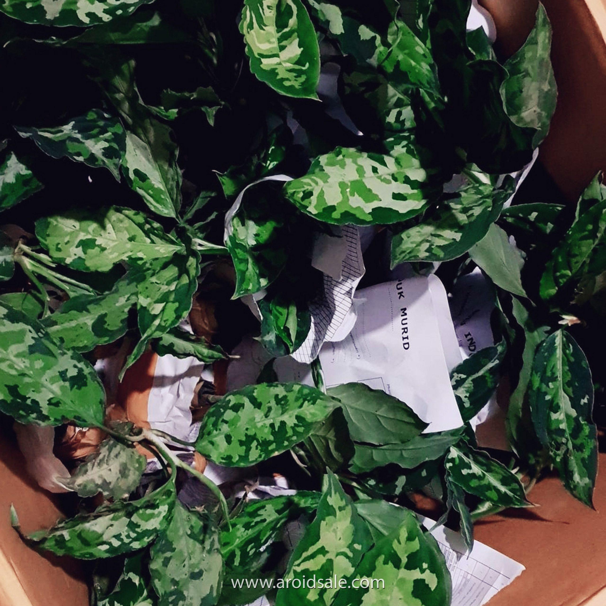 Aglaonema Pictum Tricolor, plants seller, plants shop, plants store, for sale, wholesale, plants supplier