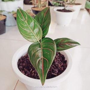 Aglaonema Rotundum