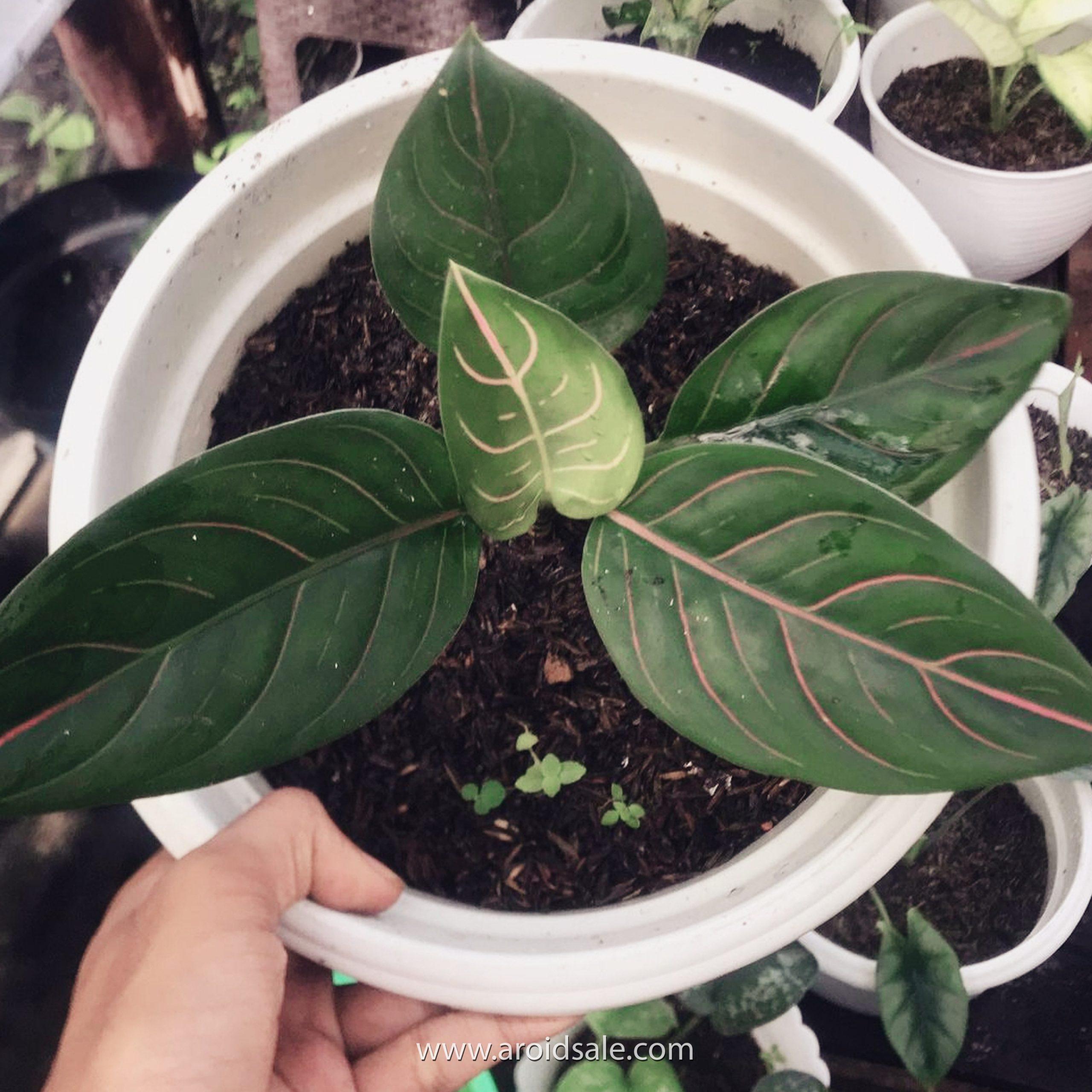 Aglaonema Rotundum, plants seller, plants shop, plants store, for sale, wholesale