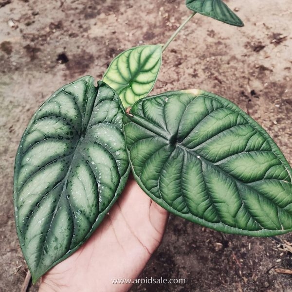 Alocasia Dragon Scale, plants seller, plants shop, plants store, for sale, wholesale, plants supplier