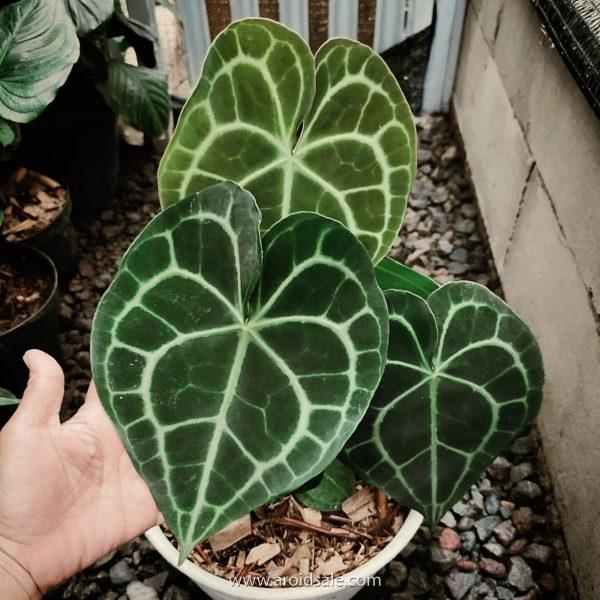 Anthurium Clarinervium, plants seller, plants shop, plants store, for sale, wholesale, plants supplier