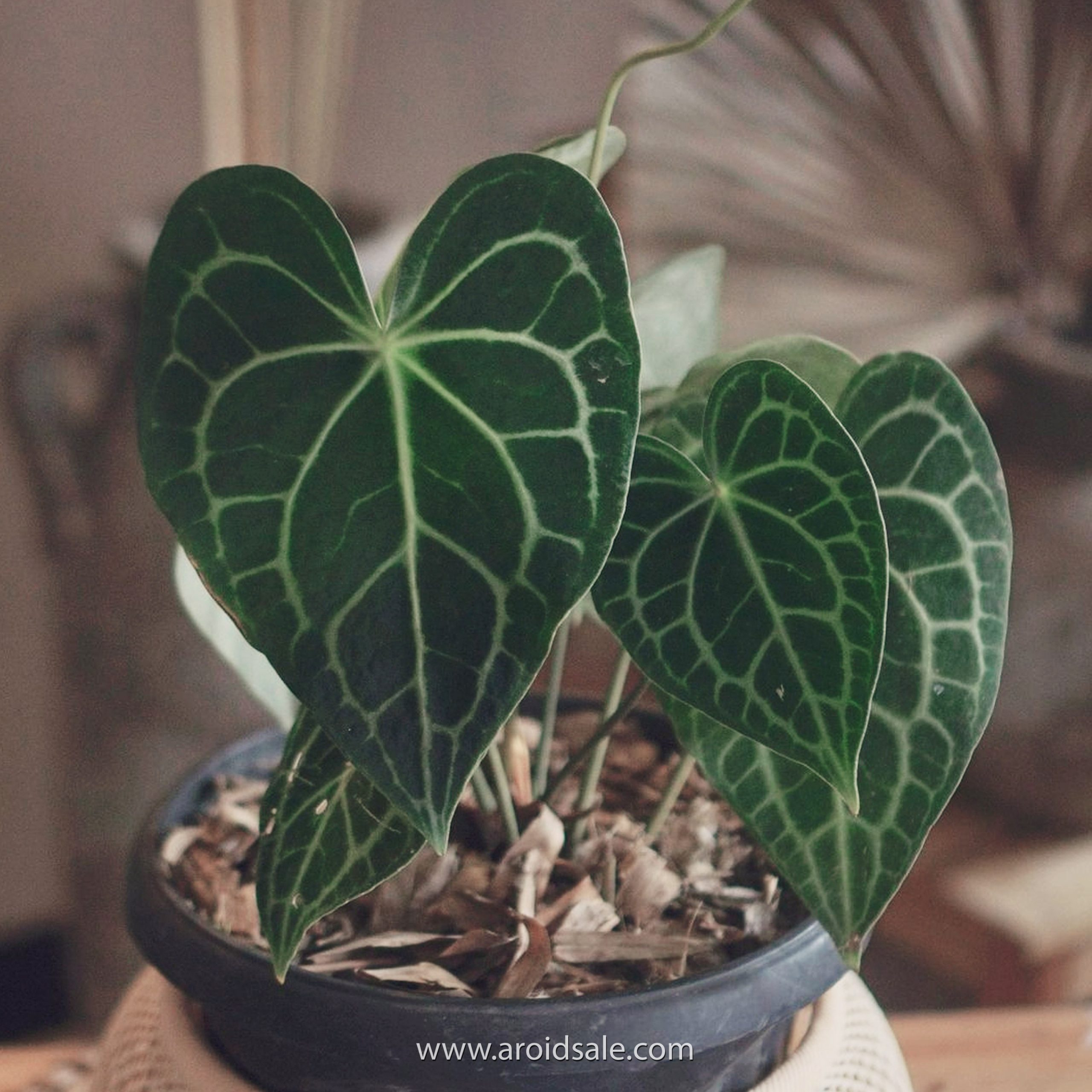Anthurium Clarinervium for sale