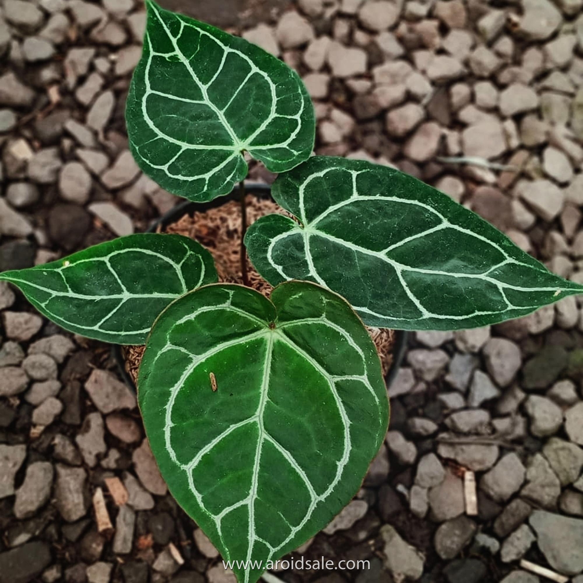 Anthurium Crystallinum, plants seller, plants shop, plants store, for sale, wholesale, plants supplier