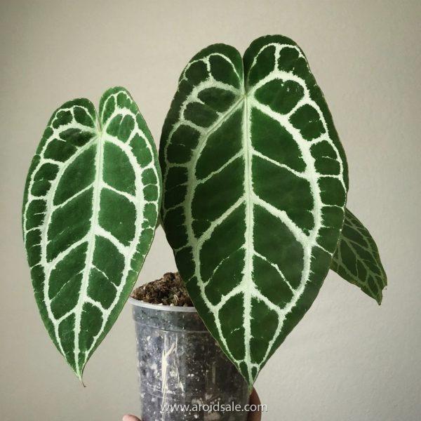 Anthurium Crystallinum Dark Form, plants seller, plants shop, plants store, for sale, wholesale, plants supplier