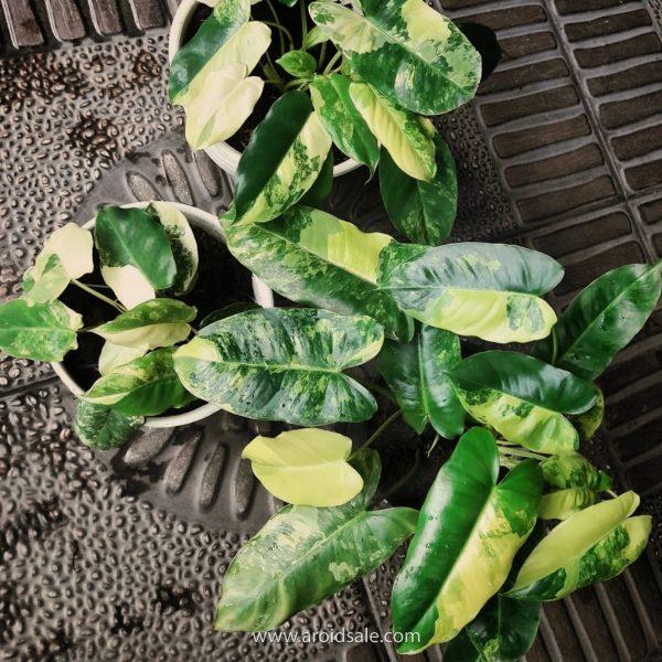 Philodendron Burle Marx Variegated, plants seller, plants shop, plants store, for sale, wholesale