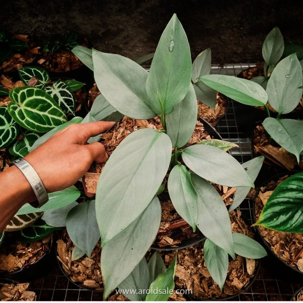 Philodendron Hastatum Silver Sword, plants seller, plants shop, plants store, for sale, wholesale