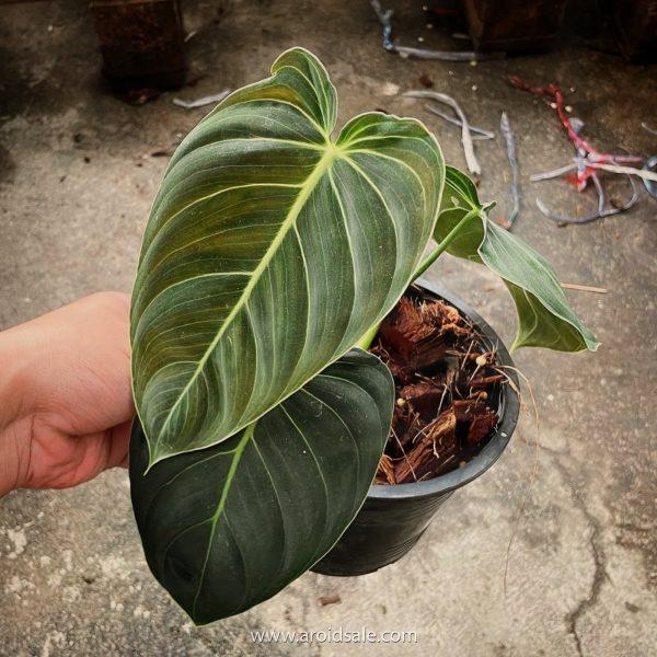 Philodendron Melanochrysum, plants seller, plants shop, plants store, for sale, wholesale, plants supplier