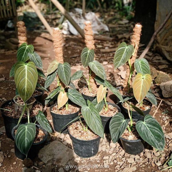 Philodendron Melanochrysum, plants seller, plants shop, plants store, for sale, wholesale