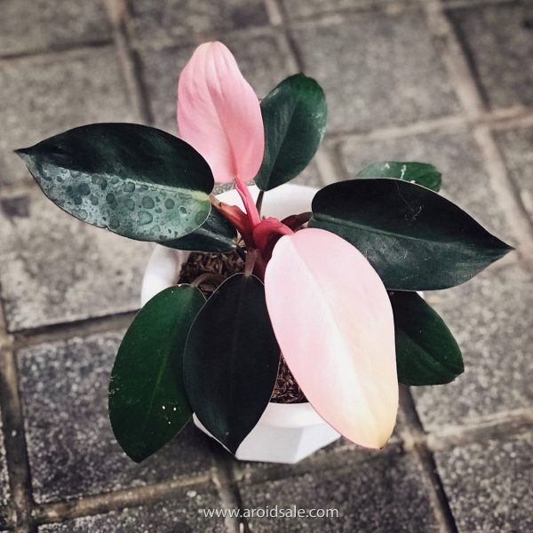 Philodendron Pink Congo for sale