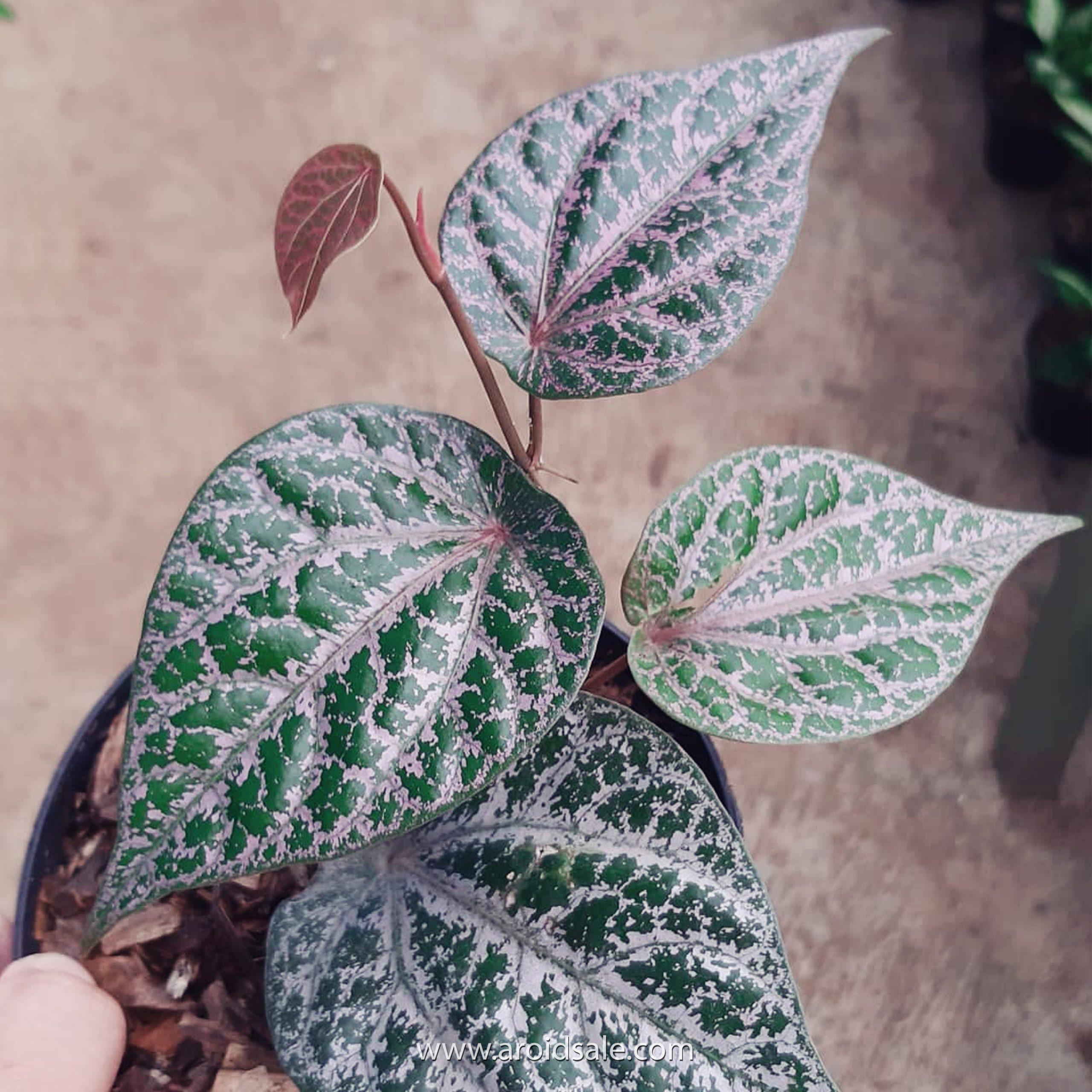 piper ornatum, plants seller, plants shop, plants store, for sale, wholesale, plants supplier