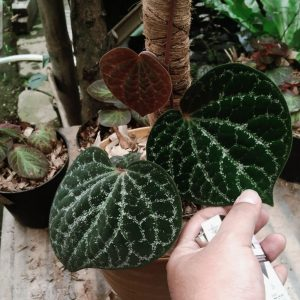 Piper Porphyrophyllum