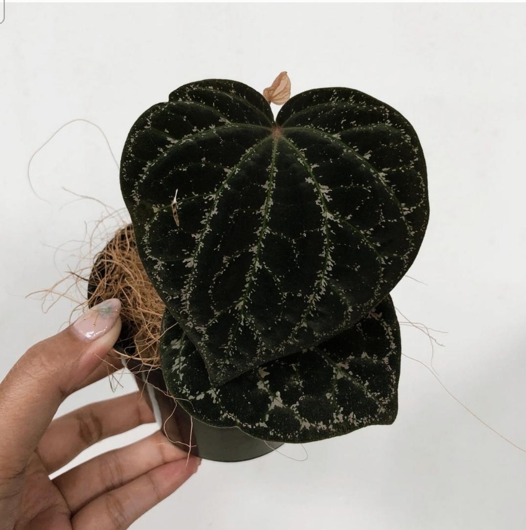 Piper Porphyrophyllum for sale, wholesale, plants seller, plants suplier, plants shop, plants care, USA CANADA EUROPE THAILAND