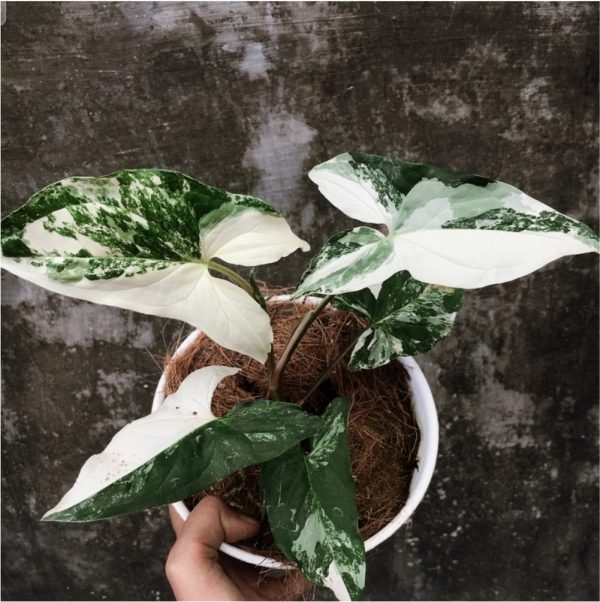 Syngonium Albo Variegated for sale, wholesale, plants seller, plants suplier, plants shop, plants care, USA CANADA EUROPE THAILAND