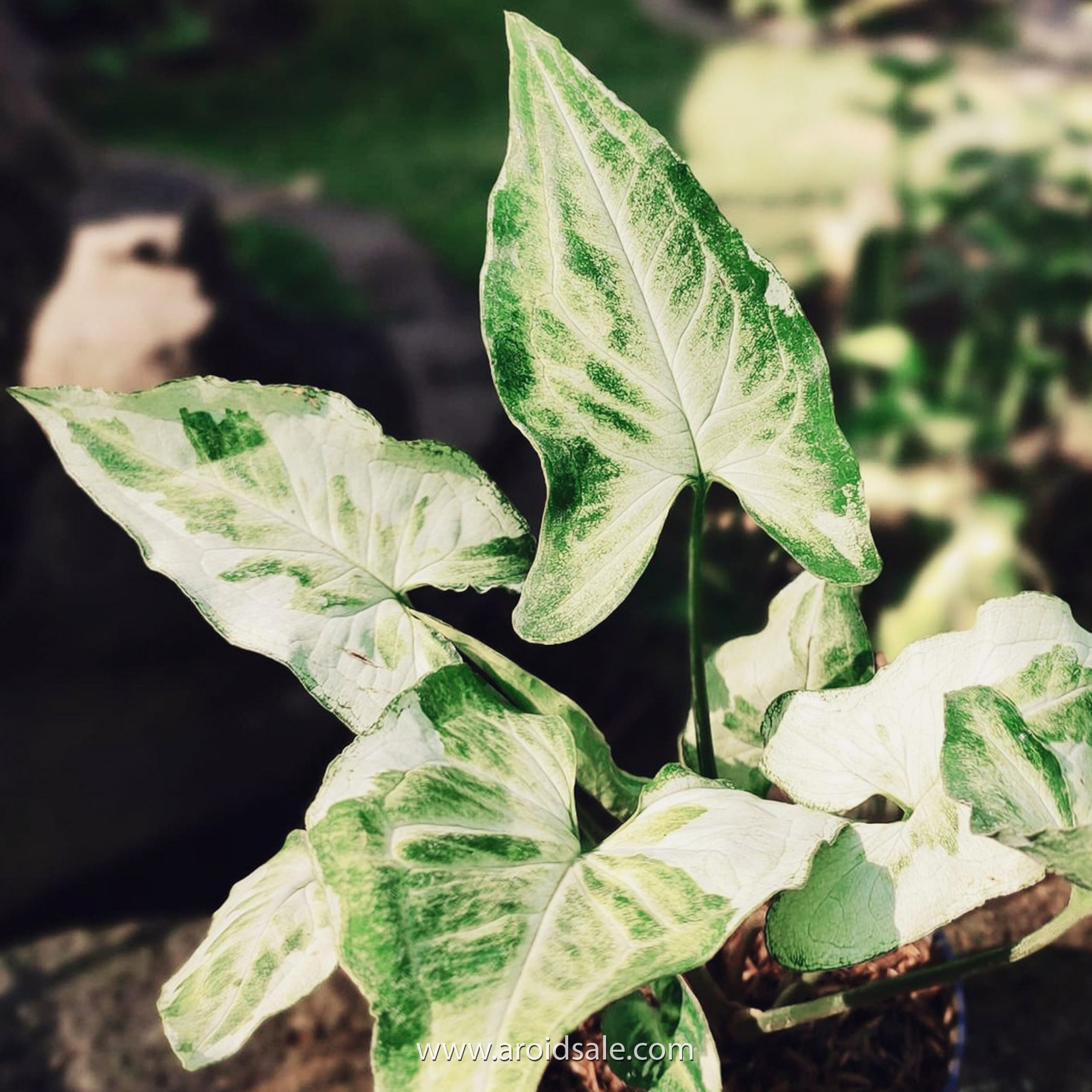 Syngonium Three King for sale