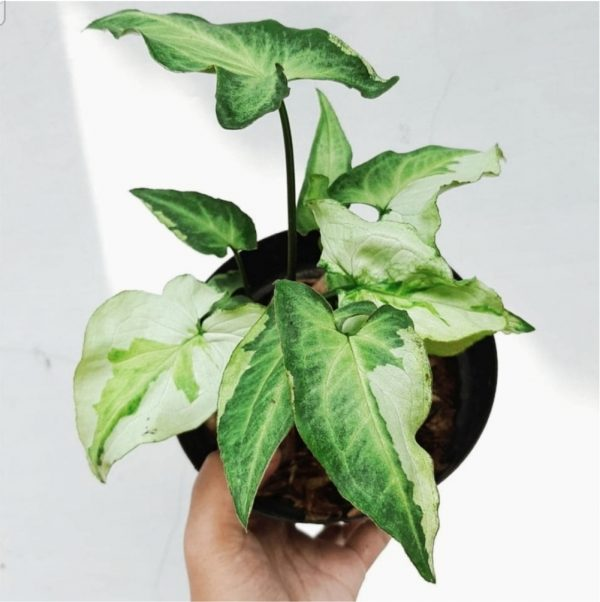 Syngonium Three Kings for sale, wholesale, plants seller, plants suplier, plants shop, plants care, USA CANADA EUROPE THAILAND