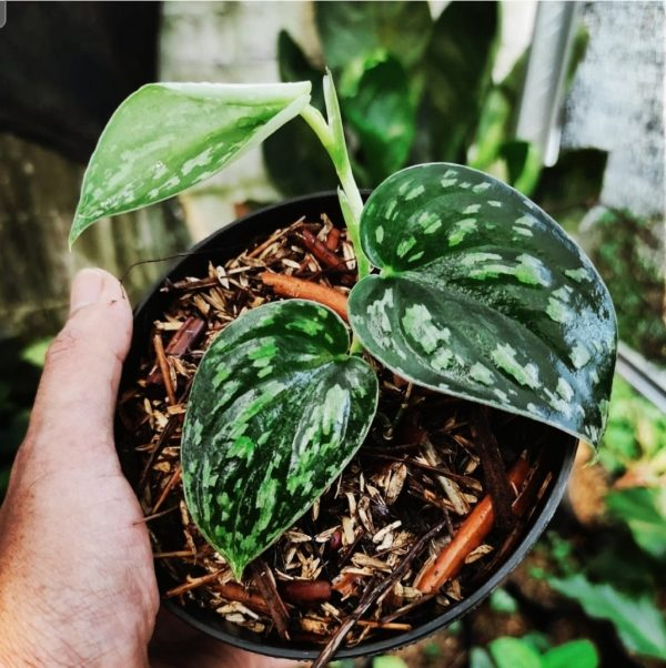 scindapsus three colors for sale, wholesale, plants seller, plants suplier, plants shop, plants care, USA CANADA EUROPE THAILAND