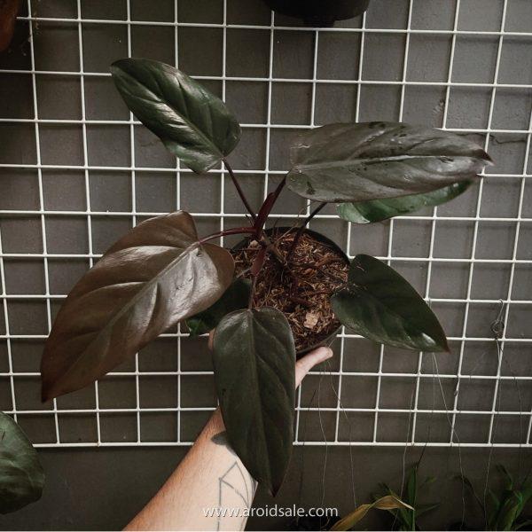 Philodendron Dark Lord, plants seller, plants shop, plants store, for sale, wholesale, plants supplier