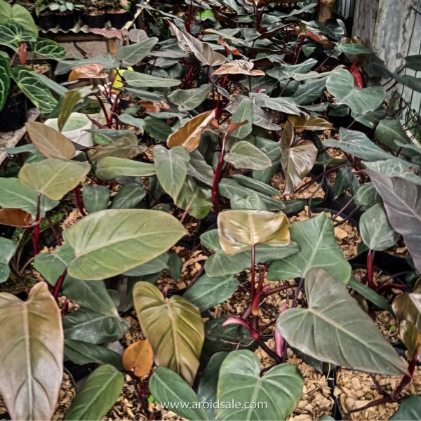 Philodendron Dark Lord
