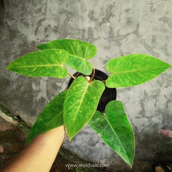 Philodendron Painted Lady, plants seller, plants shop, plants store, for sale, wholesale, plants supplier