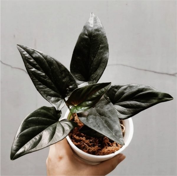 syngonium red arrow for sale, wholesale, plants seller, plants suplier, plants shop, plants care, USA CANADA EUROPE THAILAND