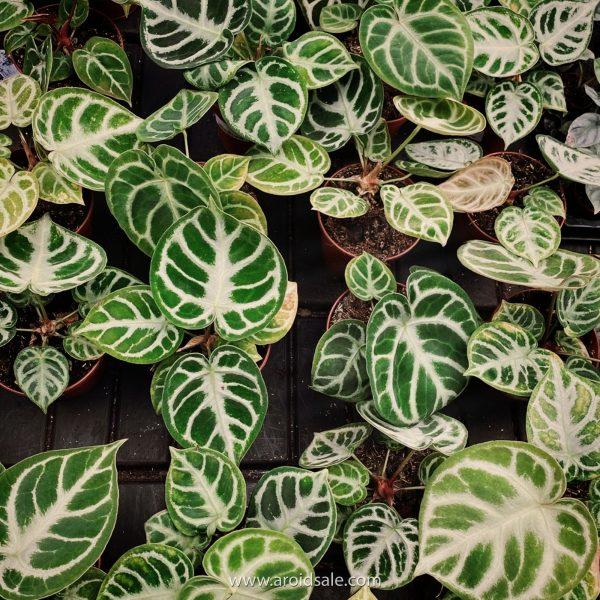 Anthurium Crystallinum Dorayaki, plants seller, plants shop, plants store, for sale, wholesale