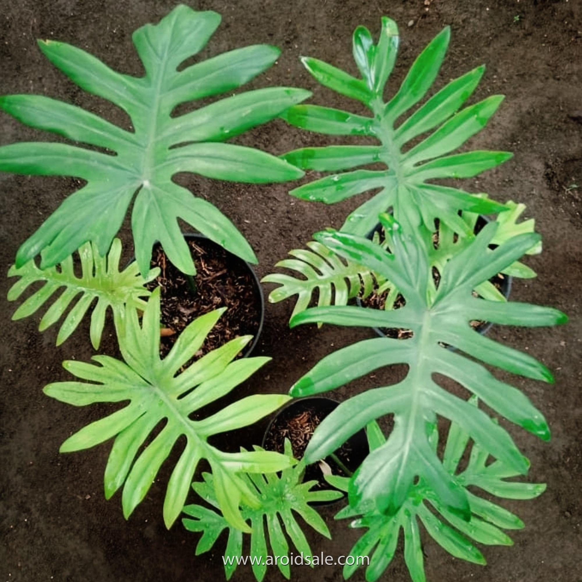 Philodendron Mayoi, plants seller, plants shop, plants store, for sale, wholesale