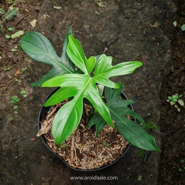 Philodendron Pedatum, plants seller, plants shop, plants store, for sale, wholesale, plants supplier