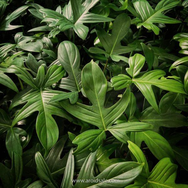 Philodendron Pedatum, plants seller, plants shop, plants store, for sale, wholesale