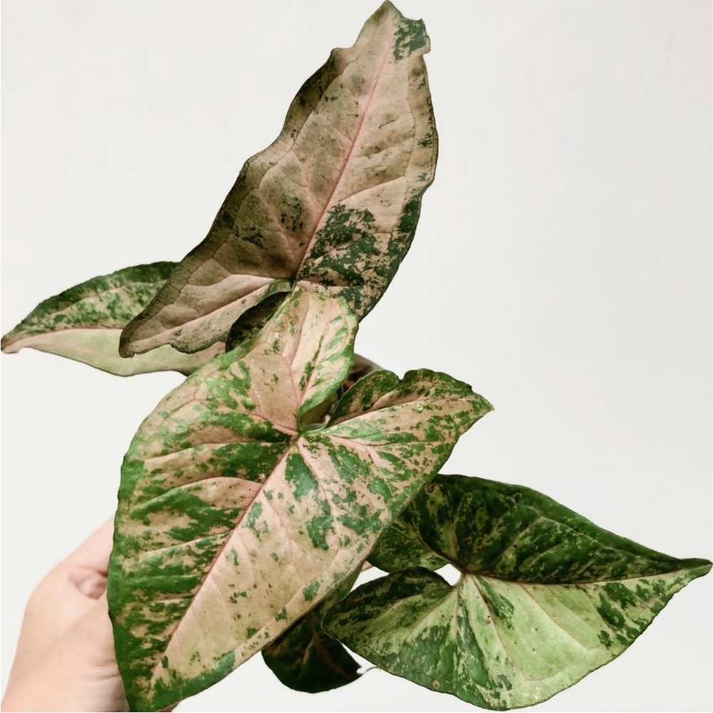 Syngonium Pink Flecked for sale, wholesale, plants seller, plants suplier, plants shop, plants care, USA CANADA EUROPE THAILAND