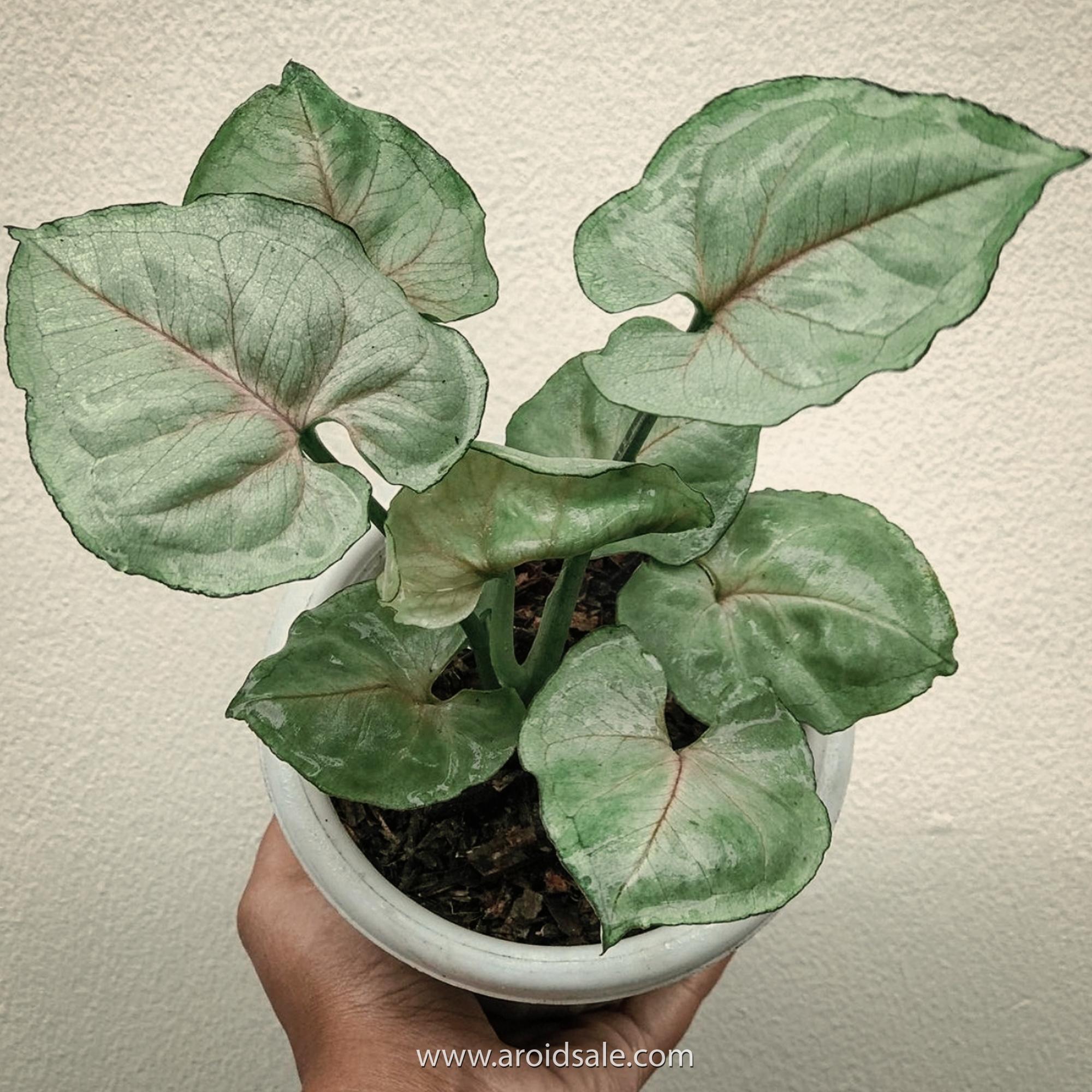 Syngonium Roxana, plants seller, plants shop, plants store, for sale, wholesale, plants supplier