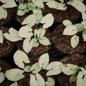 Syngonium Snow White