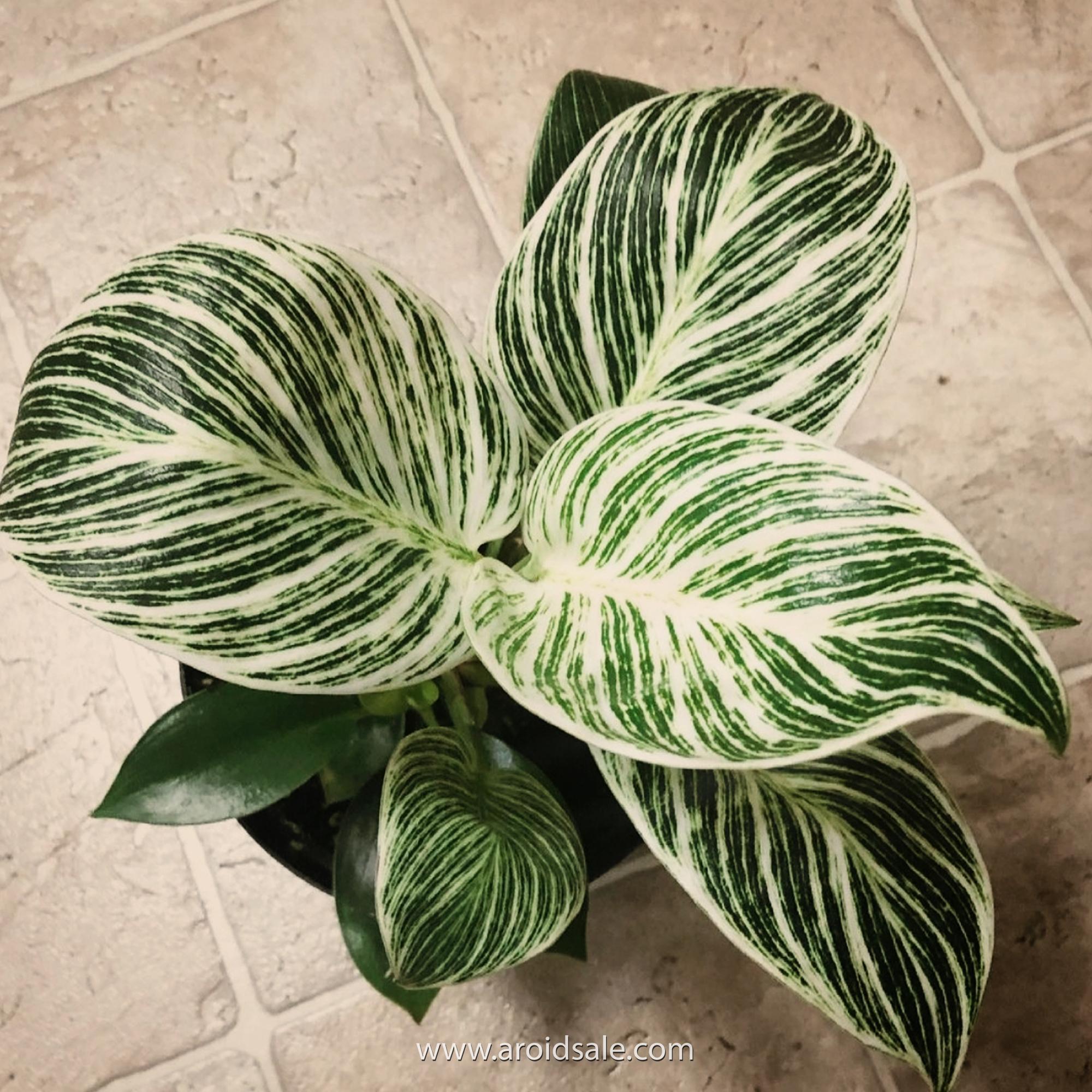philodendron birkin, plants seller, plants shop, plants store, for sale, wholesale, plants supplier