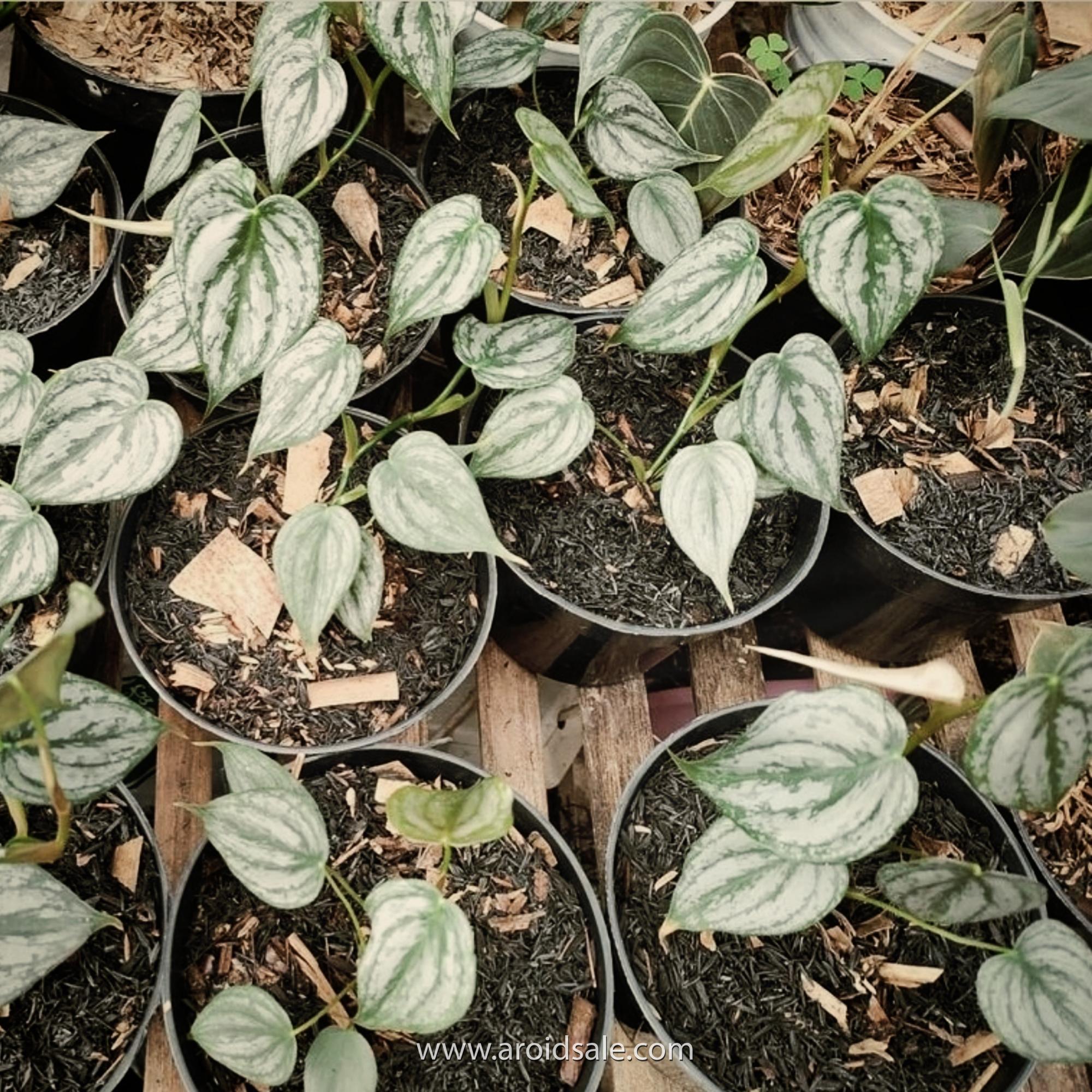 philodendron brandtianum, plants seller, plants shop, plants store, for sale, wholesale
