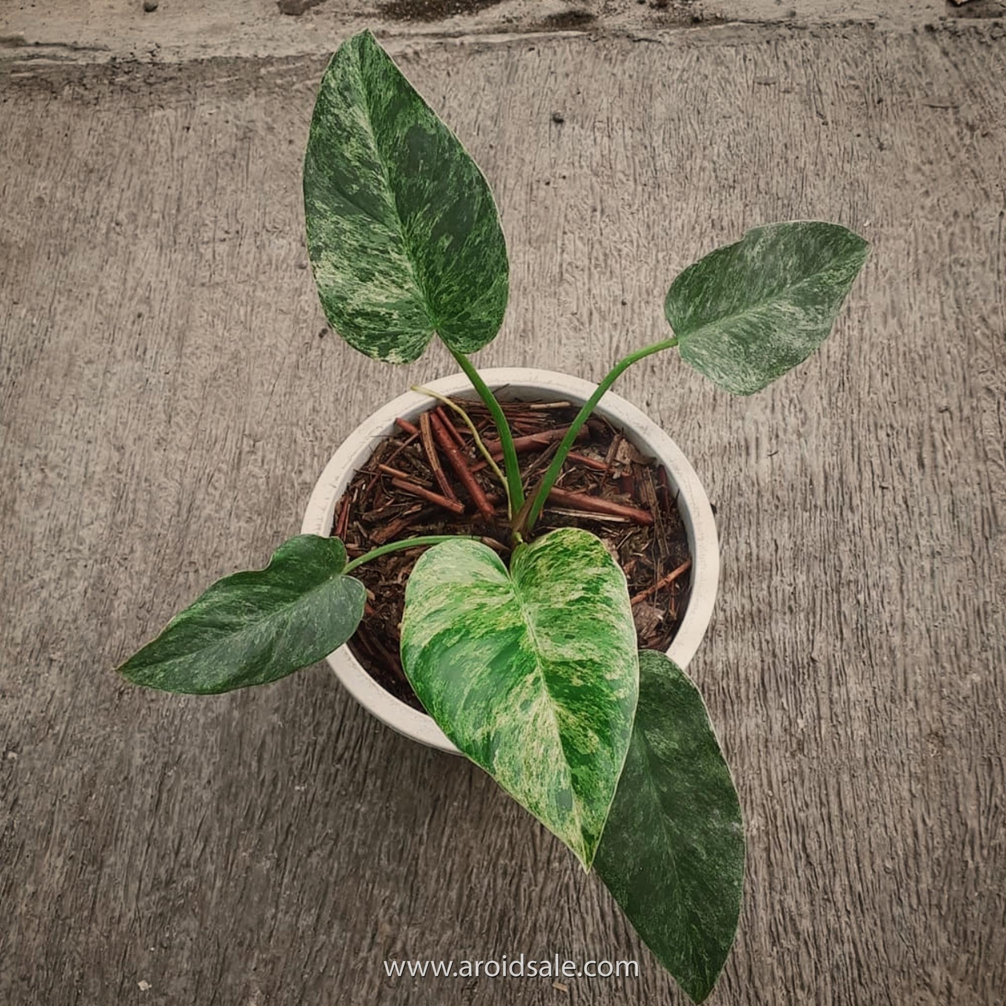 philodendron giganteum variegated, plants seller, plants shop, plants store, for sale, wholesale, plants supplier