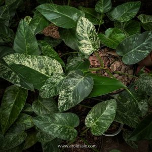 Philodendron Giganteum Variegated
