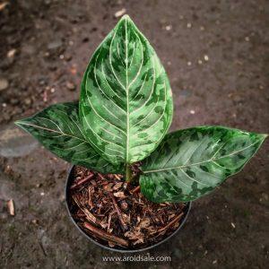 Aglaonema Rotundum x Tricolor