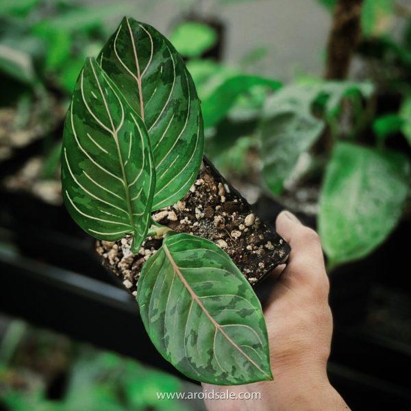Aglaonema Rotundum x Tricolor, plants seller, plants shop, plants store, for sale, wholesale