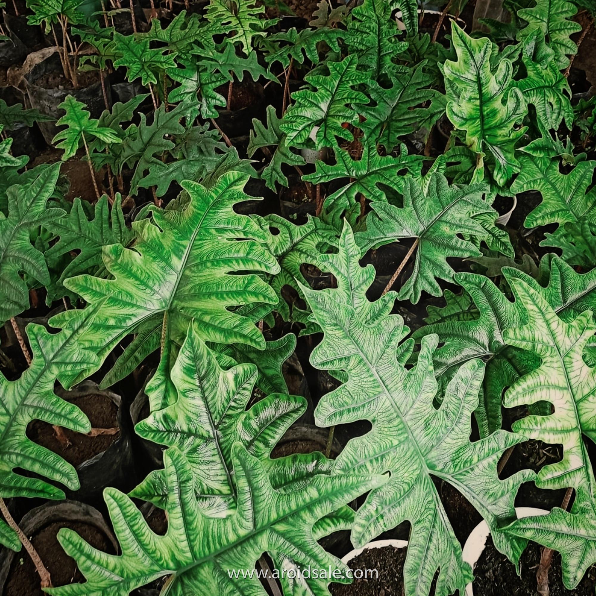 Alocasia Jacklyn, plants seller, plants shop, plants store, for sale, wholesale