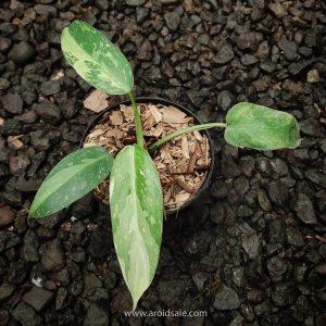 Philodendron Jose Buono