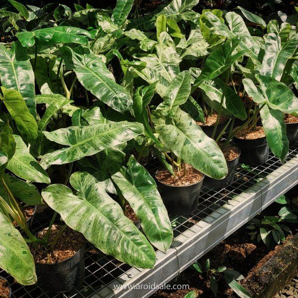 Philodendron Paraiso Verde, plants seller, plants shop, plants store, for sale, wholesale