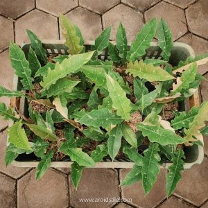 Philodendron Ring of Fire Variegated
