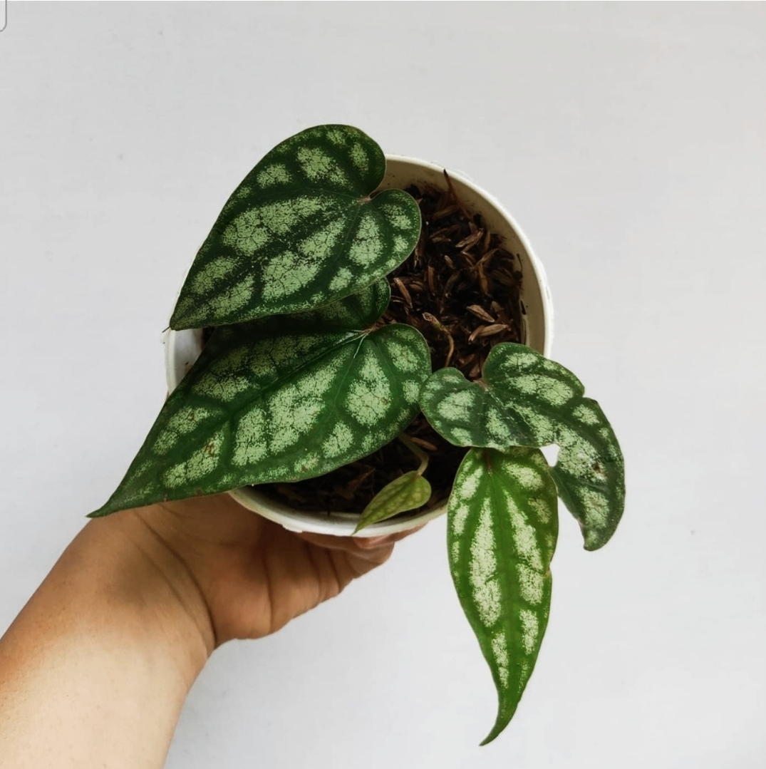 piper sylvaticum for sale, wholesale, plants seller, plants suplier, plants shop, plants care, USA CANADA EUROPE THAILAND