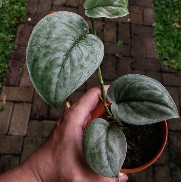 scindapsus silver tatto for sale, wholesale, plants seller, plants suplier, plants shop, plants care, USA CANADA EUROPE THAILAND