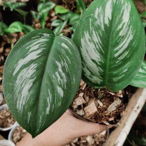 Scindapsus Treubii Borneo