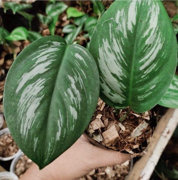 scindapsus treubii borneo for sale, wholesale, plants seller, plants suplier, plants shop, plants care, USA CANADA EUROPE THAILAND