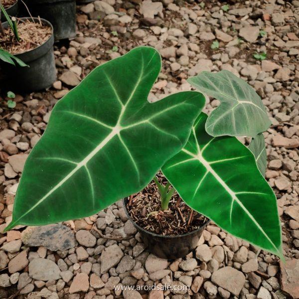alocasia frydek, plants seller, plants shop, plants store, for sale, wholesale, plants supplier