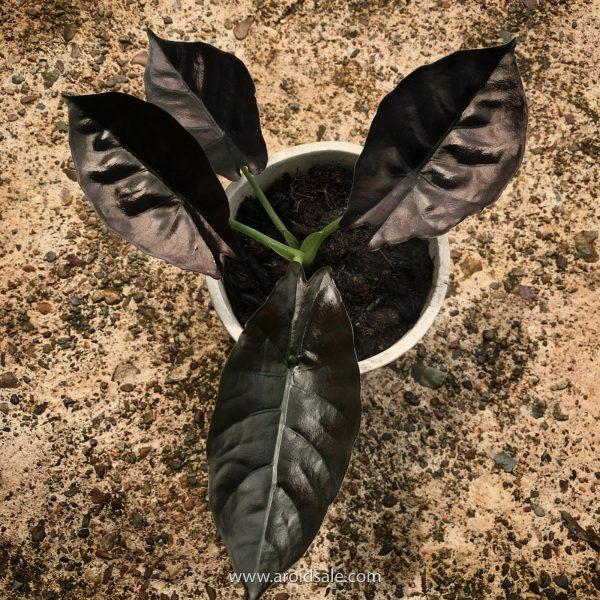 alocasia infernalis, plants seller, plants shop, plants store, for sale, wholesale, plants supplier
