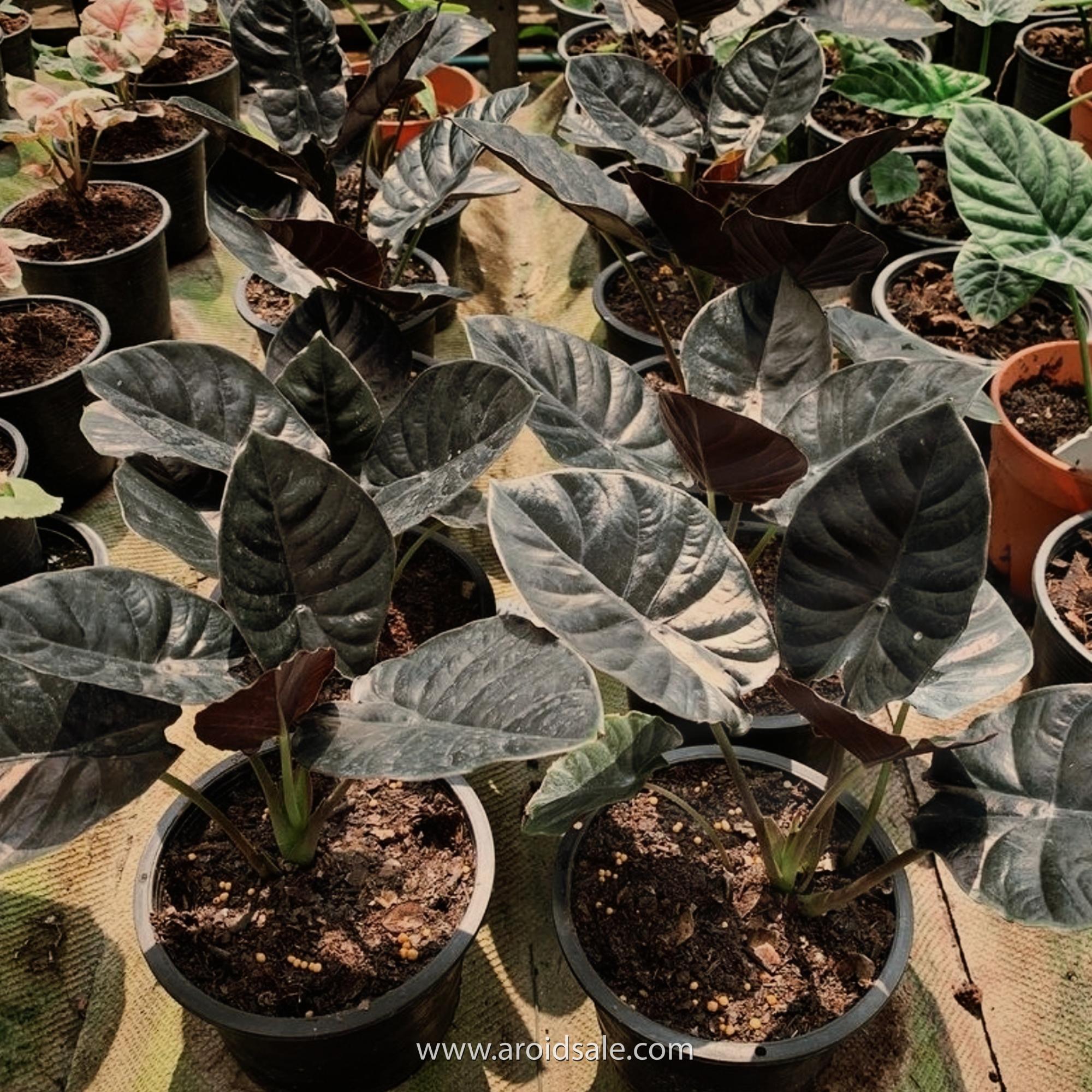 alocasia infernalis, plants seller, plants shop, plants store, for sale, wholesale