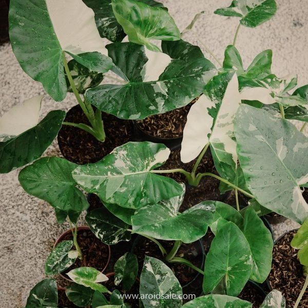 alocasia macrorrhiza, plants seller, plants shop, plants store, for sale, wholesale
