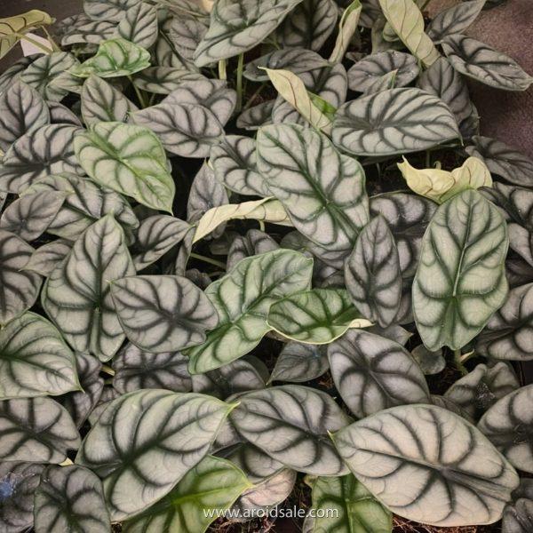 alocasia silver dragon, plants seller, plants shop, plants store, for sale, wholesale